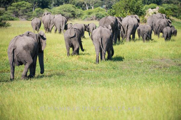 Mombo: African Elephant (Afrikanischer Elefant)