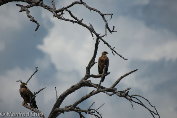Raubadler (Tawny Eagle)
