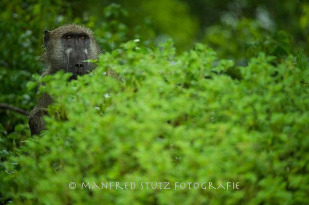 Im Regen... Baboon (Pavian)