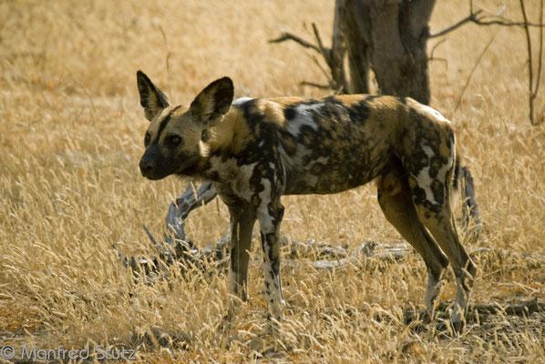 Selous GR: Die seltenen Wildhunde (Wild Dogs)