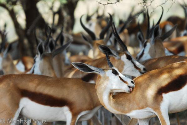 KNP: Springbock (Springbok)
