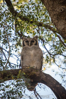 Mashatu: Verreaux`s Eagle-Owl (Milch-Uhu)