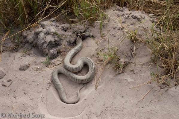 Maulwurfsnatter (Mole Snake)