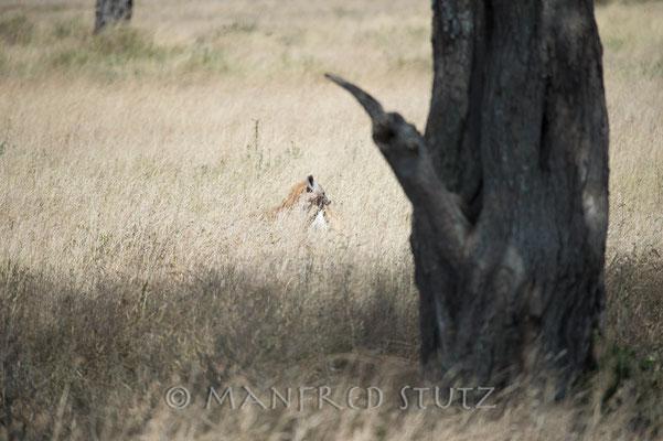 ... verschwindet die Hyäne wie sie gekommen ist. Nachdem es dann wieder ruhig wird...