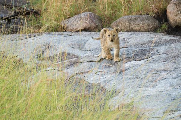 Ca. 3 Wochen junge Löwen. Sooooo Süüeess!