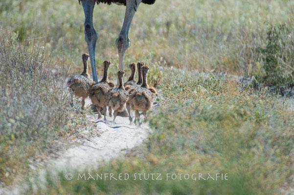 Kalahari: Juvenile Ostrich (Junge Strausse)