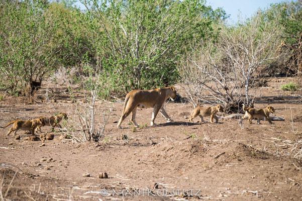 Mashatu: Löwenspaziergang