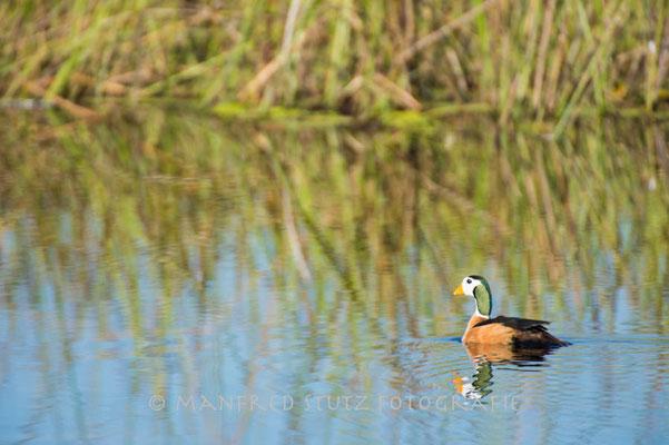 Little Vumbura: African Pygmy-Goose (Afrikanische Zwergente)