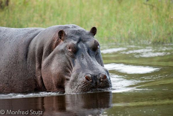 Flusspferdbulle (Hippo)