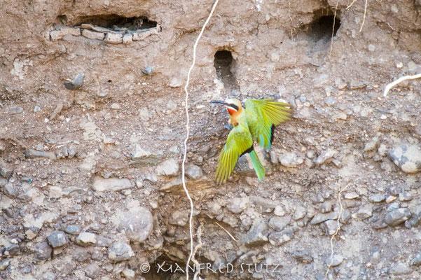 Mashatu: White-fronted Bee-eater (Weissstirnspint)