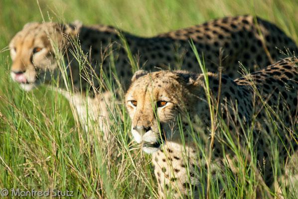 Geparden (Cheetahs) im hohen Gras