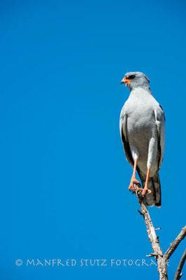Kalahari: Southern Pale Chanting Goshawk (Grosser Singhabicht)
