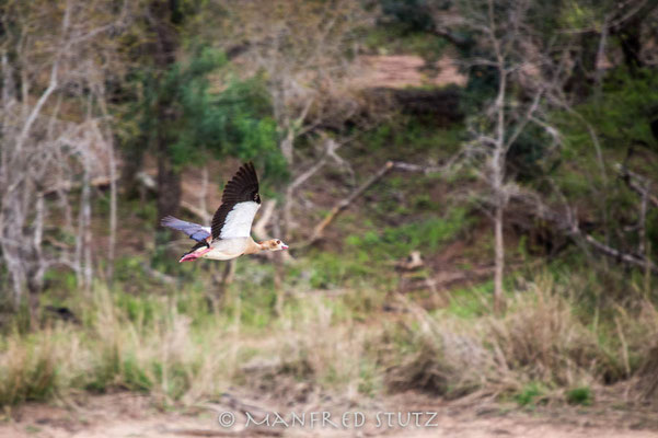 Mkhaya GR, Swaziland: Egyptian Goose (Nilgans)