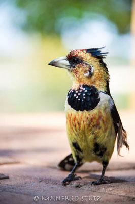 KNP: Crested Barbet (Haubenbartvogel)