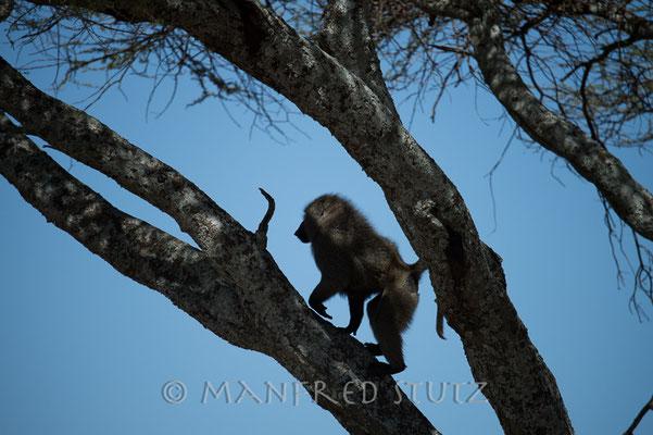 Frech wie sie sind, klettern sie den Baum hoch zum toten Tier....