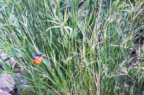 KNP: Malachite Kingfisher (Haubenzwergfischer)