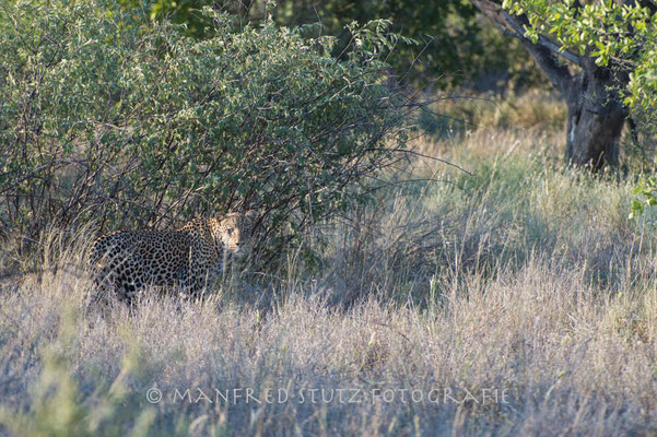 Kalahari: Leopard