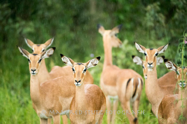 Im Regen... Impala (Schwarzfersenantilope)