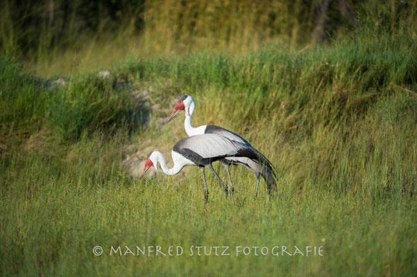 Little Vumbura: Wattled crane (Klunkerkranich)