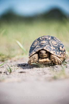 noch ein Jungtier: Tortoise (Landschildkröte)