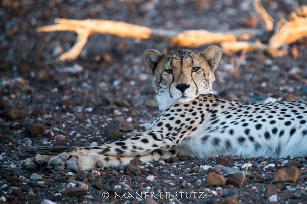 Mashatu: Cheetah (Geparden)