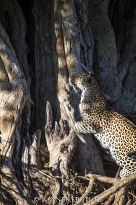 Mashatu: ...und schon wieder ein Leopard....