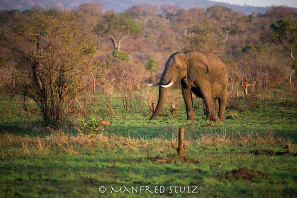 KNP: Elefantenbulle