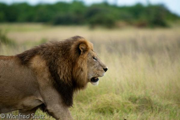 Imposantes Löwenmännchen