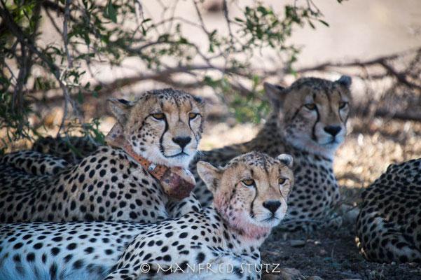 Mashatu: Cheetah-family (Gepardenfamilie)