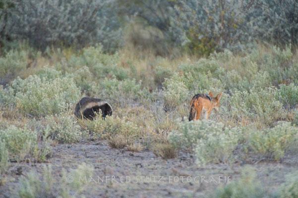 Kalahari: Honey Badger und Black-back jackal