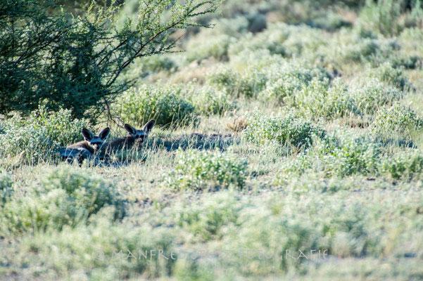 Kalahari: Bat-eared fox (Löffelhund)