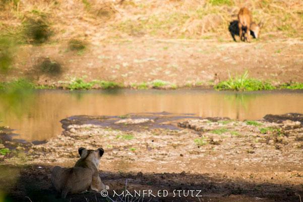 KNP: Löwin auf Pirsch