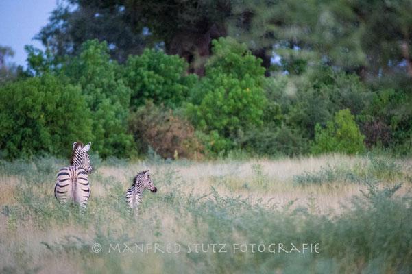 Unterwegs im Mombo: Zebra
