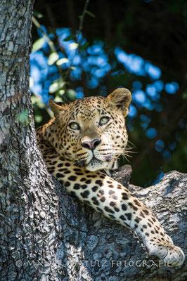 Ein neuer männlicher Leopard in Mombo unterwegs