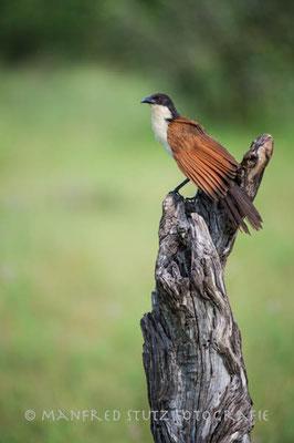 Im Regen... Coppery-tailed Coucal (Kupferschwanzkuckuck)