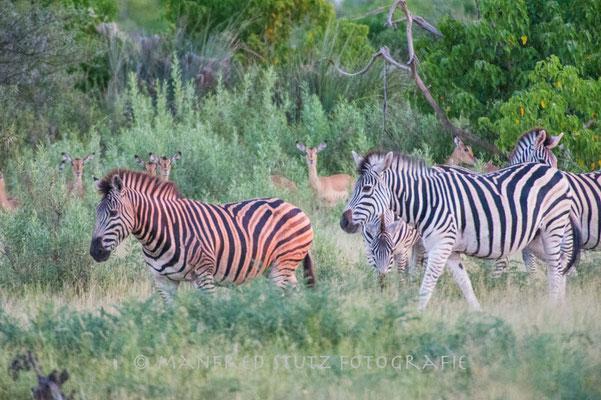 Rote Zebras sind nur im Sonnenuntergang zu sehen :-)