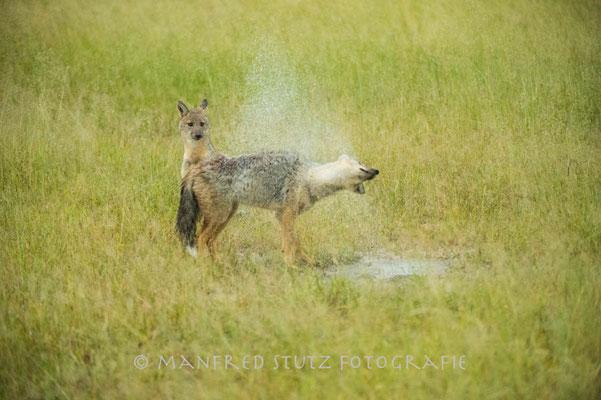 Im Regen... Side-striped jackal (Streifenschakal)