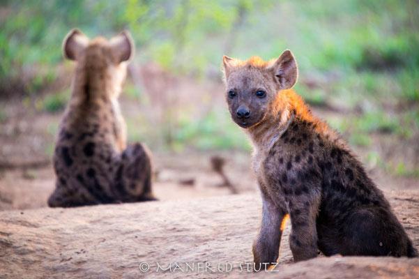 KNP: Spotted Hyena (Tüpfelhyäne)