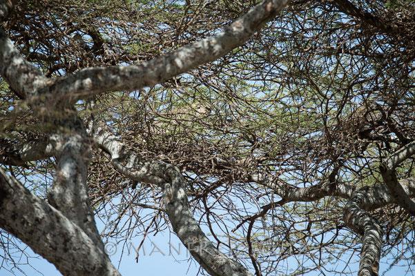 Der Leopard hat sich bereits so weit als möglich in die Baumkrone zurückgezogen...