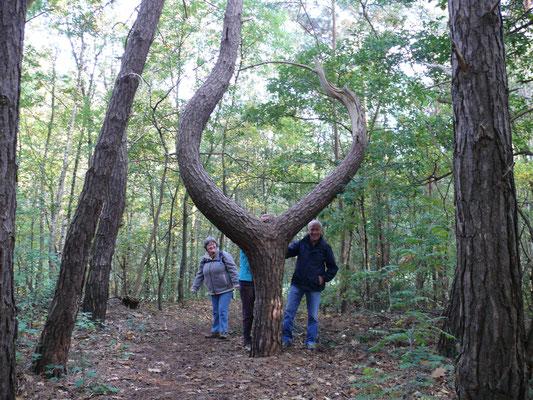 """een merkwaardige """"U""""-boom in het bos"""