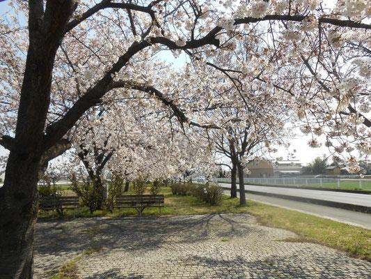 熊谷 妻沼 桜の開花 あおい夢工房 炎と楽園のアート ちょっと一息
