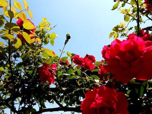 五月~薔薇の開花~ あおい夢工房 炎と楽園のアート 小林夢狂