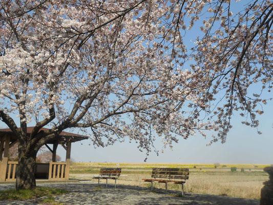 桜 ソメイヨシノ あおい夢工房 炎と楽園のアート ちょっと一息