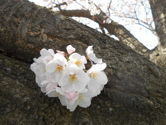 桜 ソメイヨシノ あおい夢工房 炎と楽園のアート