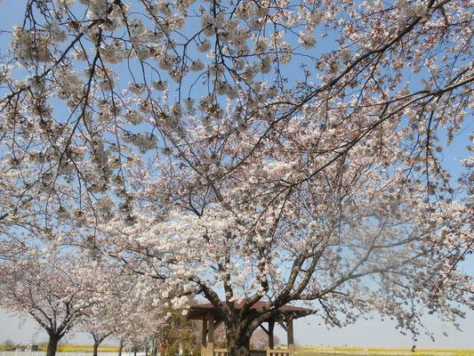 空のグラデーションと桜 あおい夢工房 炎と楽園のアート ちょっと一息