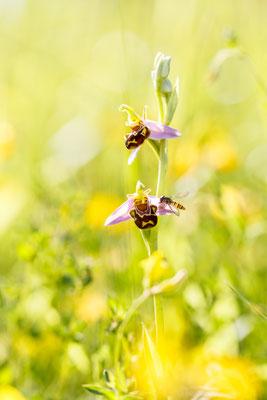 Bienen-Ragwurz (Ophrys apifera) / Foto: Andreas Sebald