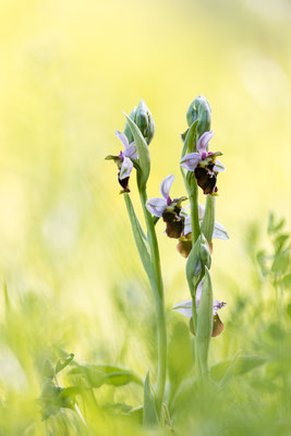 Hummel-Ragwurz (Ophrys holoserica) / Foto: Andreas Sebald