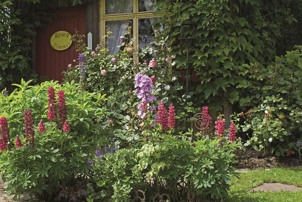 Lupinen als Begleitstaude im Rosengarten Sinneszauber