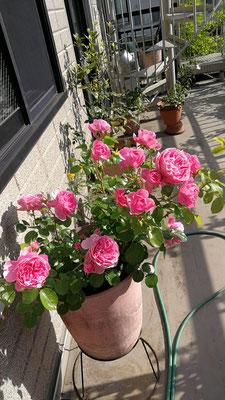 新苗で買って3年目?4年目?のレオナルド・ダ・ヴィンチ君。大変花もちが良い。