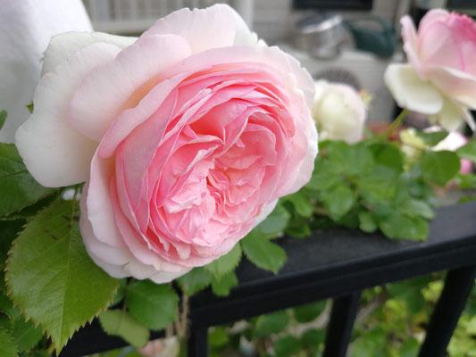 ピエール・ド・ロンサール。今年はたくさん咲きました。